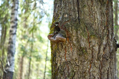 Aspen trunk Royalty Free Stock Image