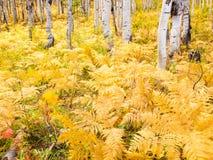 Aspen Trunks dans l'automne image stock