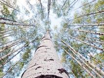 Aspen Trunks dans l'automne photographie stock
