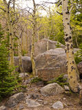 Aspen trunks among granite boulder field. First spring leaves on  white aspen tree trunks as they grow among large granite boulders in Rocky Mountain National Royalty Free Stock Images