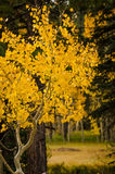 Aspen turns bright yellow in the fall. Stock Photography
