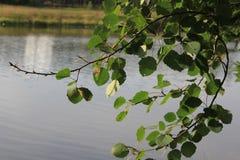 Aspen twig royalty free stock image