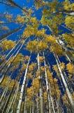 Aspen Vertigo. A vertical perspective of quaking aspens Stock Photography