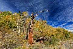 Aspen, vieil arbre près du lac Tahoe Images libres de droits