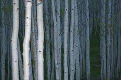Aspen-Wald lizenzfreies stockbild