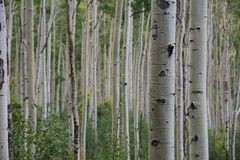 Aspen-Wald in Kolorado stockbilder