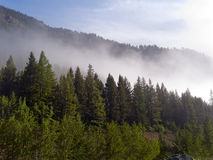 Aspen-Wald mit dem Nebel, der innen kreeping ist Stockbilder