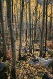 Aspen-Waldung #2 Lizenzfreie Stockbilder