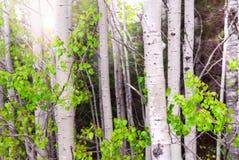 Aspen-Waldung Stockfotos