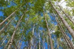 Aspen-Waldung gegen blauen Himmel stockbild