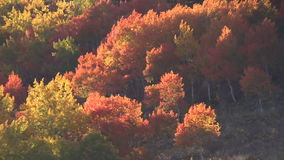 Aspen-Waldung im Fall stock footage