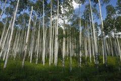Aspen-Waldung in Kolorado stockfotografie