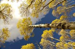 Aspen-Waldung obenliegend stockfoto