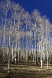 Aspen-Waldung ohne Blätter Lizenzfreies Stockbild