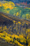 Aspen Of The West Elks royalty free stock photography
