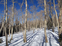 Aspen in Winter Royalty Free Stock Photos