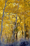 Aspen Woodland Stock Photography
