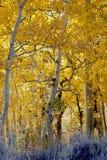 Aspen Woodland. Natural Aspen Tree woodland, Fall, highly backlit, Eastern Sierra Nevada, California stock photography