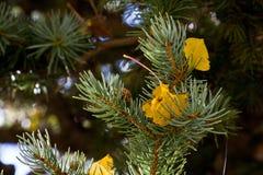 Aspen y pino en la caída Foto de archivo libre de regalías