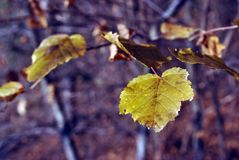 Aspen yellow leaf on blurry grass background, close up. Detail royalty free stock photos