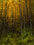aspens κάμψη φθινοπώρου στοκ εικόνες με δικαίωμα ελεύθερης χρήσης