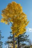 aspens φθινόπωρο χρυσό Στοκ Εικόνες