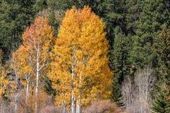 aspens φθινόπωρο χρυσό Στοκ φωτογραφία με δικαίωμα ελεύθερης χρήσης
