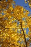 aspens φθινόπωρο Στοκ φωτογραφία με δικαίωμα ελεύθερης χρήσης