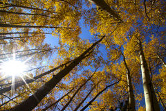 Aspens Royalty Free Stock Image