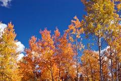 Aspens. Aspen trees in fall foliage royalty free stock photo