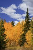 Aspens Stock Photography