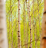 Aspens. A forest full of birch trees (aspens) with new growth in the spring Royalty Free Stock Photography