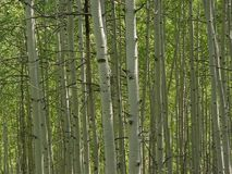 Aspens. In the Colorado Springtime Stock Images