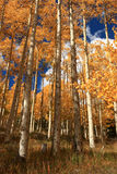 Aspens. Vertical view of golden leaves and white trunks of aspen trees in the fall stock photography
