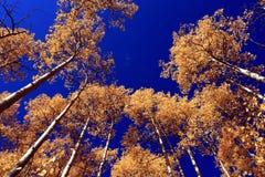Aspens. Upward view of golden aspen trees on early fall morning stock photo