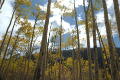 Aspens in Aspen Stock Photos