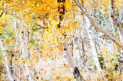 Aspens. Aspen trees changing color Royalty Free Stock Photo