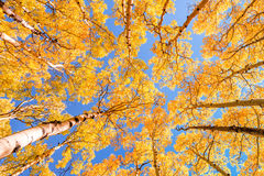 Aspens. Aspen trees glowing yellow in the afternoon sun in Colorado Royalty Free Stock Photo