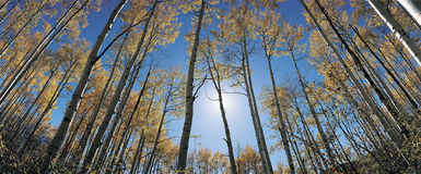 Aspens in autumn Royalty Free Stock Photos