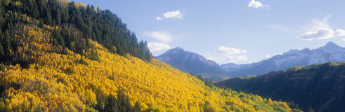 Aspens in Autumn. In San Juan National Forest near Telluride, Colorado Royalty Free Stock Photos