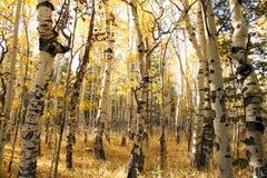 Aspens. In autumn in the Colorado mountains Stock Photos