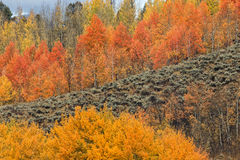 Aspens in Autumn Royalty Free Stock Photography