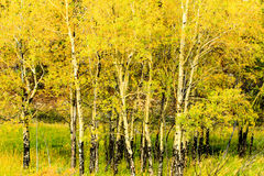 Aspens in Autumn. This image of aspens in the autumn was captured in the Rocky Mountain National Park Stock Photo