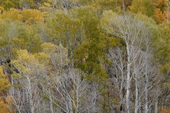 Aspens in autumn, Inyo National Forest, California 7 Royalty Free Stock Photo