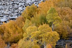 Aspens in autumn, Inyo National Forest, California 8 Stock Images