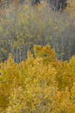 Aspens in autumn, Inyo National Forest, California 9 Stock Images