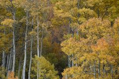 Aspens in autumn, Inyo National Forest, California 10 Stock Photos