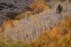 Aspens in autumn, Inyo National Forest, California 2 Stock Photo