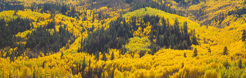 Aspens in Autumn near Rico, Colorado Stock Images