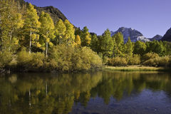 Aspens in Autumn reflected in pond. Golden aspens in autumn reflected in pond with snow covered mountain in background.  June Lake, CA Royalty Free Stock Images